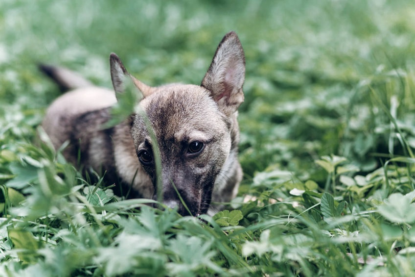 Why do dogs eat grass and does it mean they are ill?